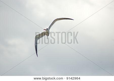 A Tern making a mid-air turn