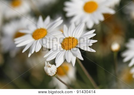 White daisy flowers.
