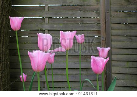 The Pink Tulips On The Background Of Wooden Fence