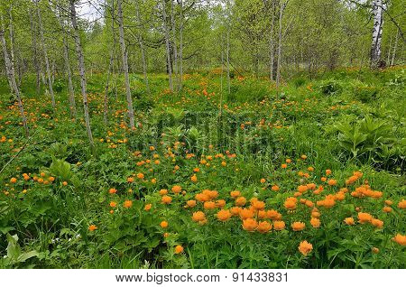 ?arpet Of Bright Spring Flowers In A Forest Glade
