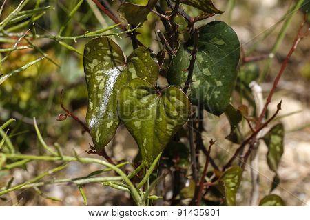 Heart shaped leaves.