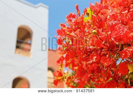 Blooming Acacia