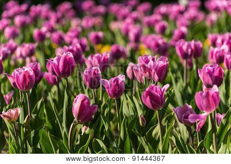 Pink Tulips Flowers Background