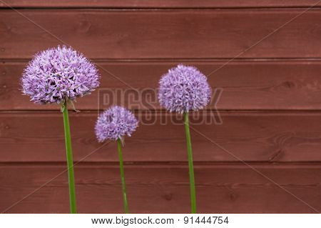 Three Ornamental Onion (allium) Flowers Against Timber Background