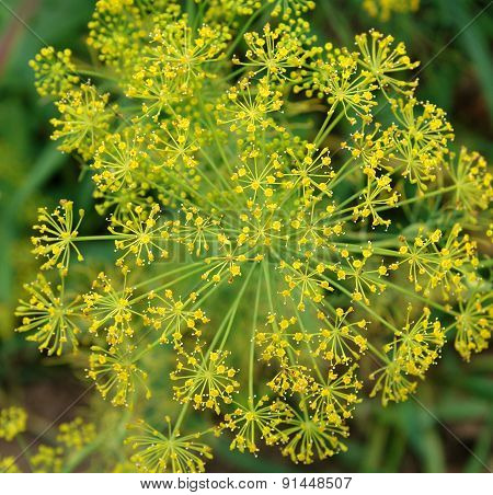 Flowers Of Dill