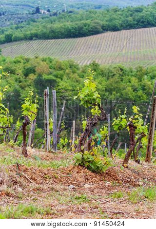 The Vineyards Of Chianti.