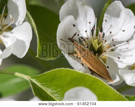 Weevil Frachnik Beetle (lixus)