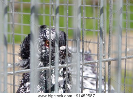 Pigeon In Captivity In A Cage