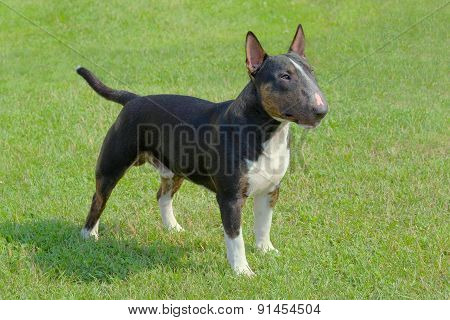 The Portrait Of Miniature Bull Terrier