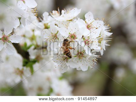 Isolated Bee On White Flower Tree Covered With Nectar