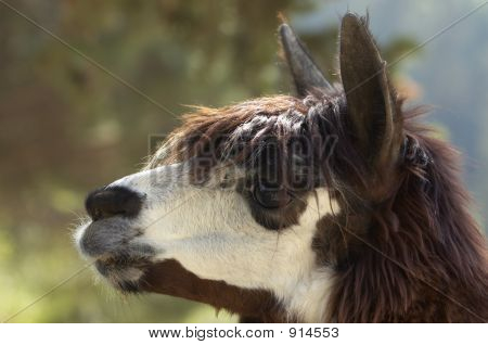 Head Of Alpaca (Lama Pacos)