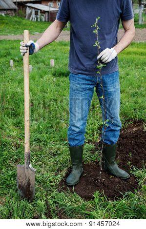 Planting Apple Trees.