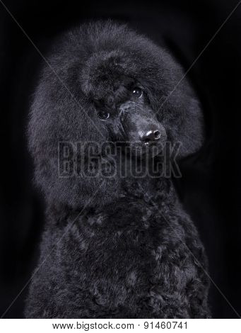 black poodle, portrait
