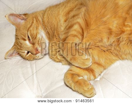 Sleepy Orange Cat