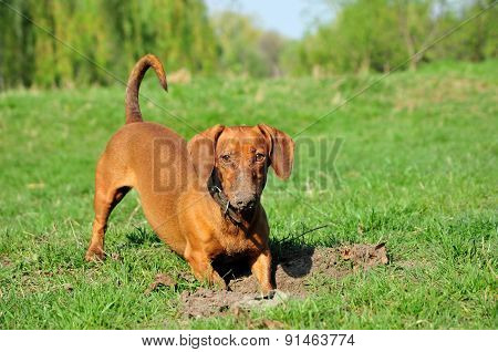 The dog digs a hole.Smooth-haired dachshund standard, color red, female.