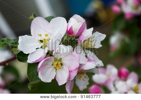 Pink Flowers Apple