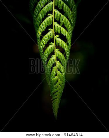 Fern of New Zealand