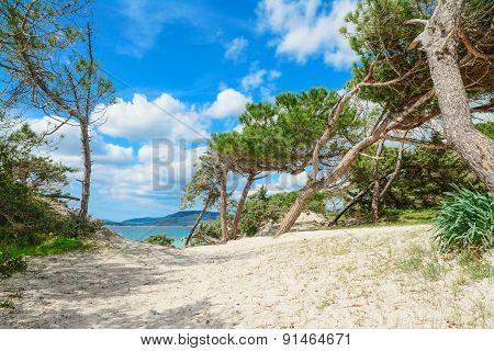 Pine Trees By Alghero Shoreline