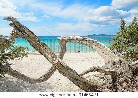 Pine Trunk In Maria Pia Beach