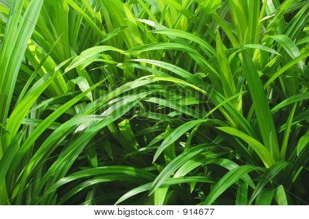 Speer-Blätter