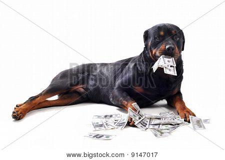 Rottweiler und Dollar