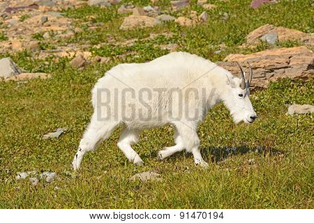 Mountain Goat Walking Across An Alpine Meadow