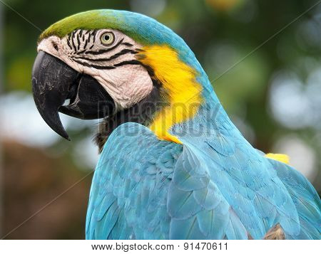 Extreme Closeup Blue and Yellow Macaw in Profile