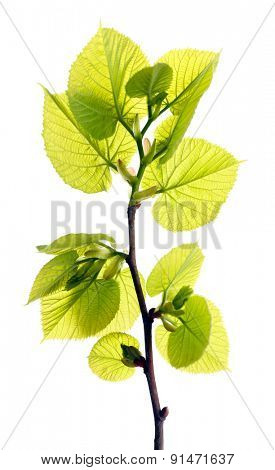 Branch with spring leaves isolated on white