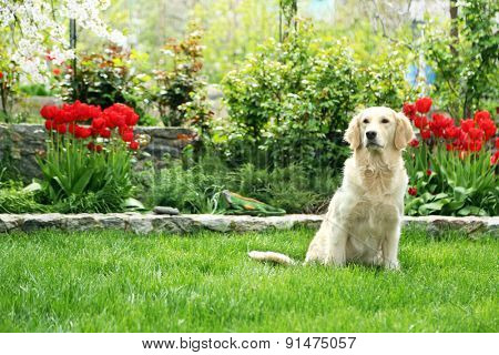 Adorable Labrador playing with ball on green grass, outdoors