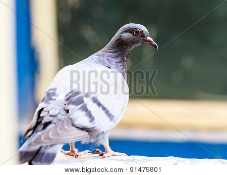closeup of a pigeon with focus on its sharp eye
