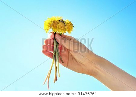 Female hand holding small dandelions on blue sky background