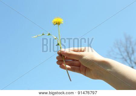 Female hand holding small dandelion on blue sky background