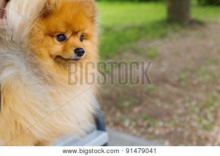 beautiful playful little fluffy Pomeranian red color
