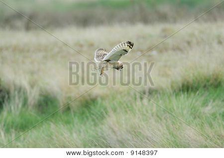 Short Ear Owl (asio Flammeus) Hunting