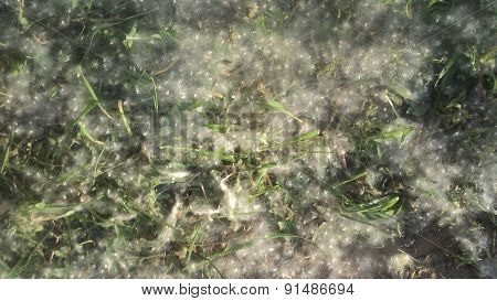 texture poplar fluff