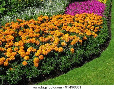 Marigolds flowerbed