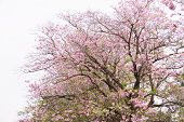 picture of trumpet flower  - flowers tree bloom with white background pink trumpet tree - JPG