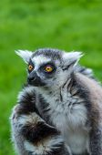 picture of zoo  - Wide eyed staring lemur at Banham Zoo - JPG