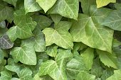 stock photo of english ivy  - green ivy leaves in Prague city center - JPG