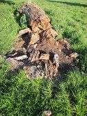 stock photo of rotten  - Rotten and decayed tree photographed at Shobrooke Park in Shobrooke in Devon - JPG