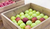 stock photo of crate  - Golden and red delicious apples arranged in wooden crates over white background - JPG