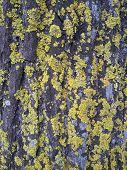 picture of lichenes  - a closeup of Yellowish green lichens on tree skin - JPG