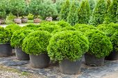 image of plant pot  - Cypresses plants in pots on tree farm - JPG