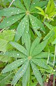 picture of marijuana plant  - A Plant - JPG