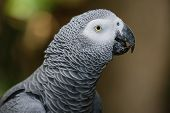 picture of parrots  - Portrait of a beautiful African Gray parrot bird - JPG