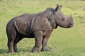 picture of rhino  - Baby white rhino with the start of a horn and ears pricked - JPG