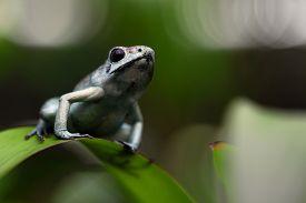 foto of poison arrow frog  - poison arrow frog - JPG