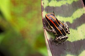 stock photo of poison arrow frog  - red striped poison arrow frog - JPG