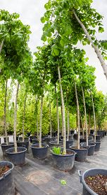 stock photo of cobnuts  - Young nut trees in plastic pots on tree nursery - JPG