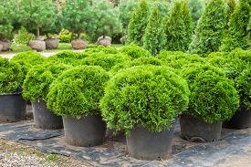 stock photo of juniper-tree  - Cypresses plants in pots on tree farm - JPG
